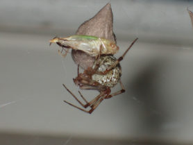 Picture of Parasteatoda tepidariorum (Common House Spider) - Female - Egg sacs,Lateral,Webs,Prey