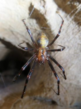 Picture of Tetragnathidae (Long-jawed Orb-weavers) - Dorsal,Webs