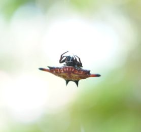 Picture of Gasteracantha spp. (Spiny Orb-weavers) - Dorsal