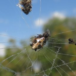Featured spider picture of Cyclosa insulana (Island Cyclosa Spider)