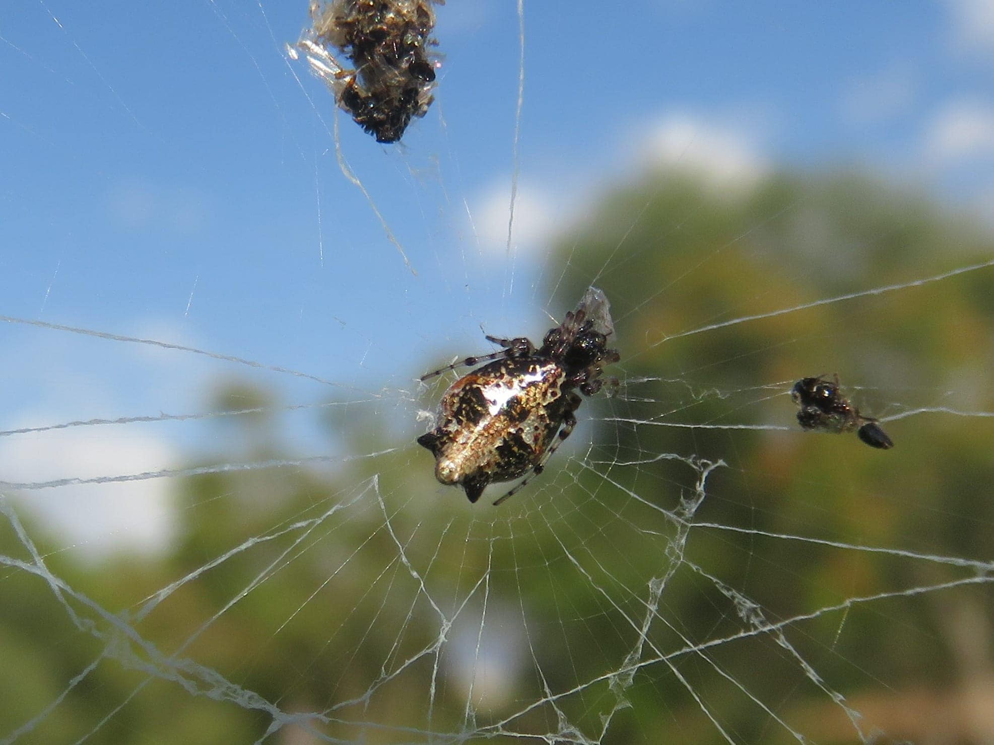 Picture of Cyclosa insulana (Island Cyclosa Spider) - Dorsal,Webs,Prey