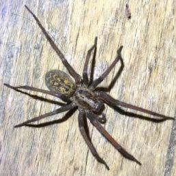 Featured spider picture of Eratigena atrica (Giant House Spider)