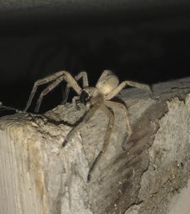 Picture of Olios giganteus (Giant Crab Spider) - Lateral
