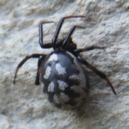 Featured spider picture of Steatoda albomaculata (White-spotted False Widow)