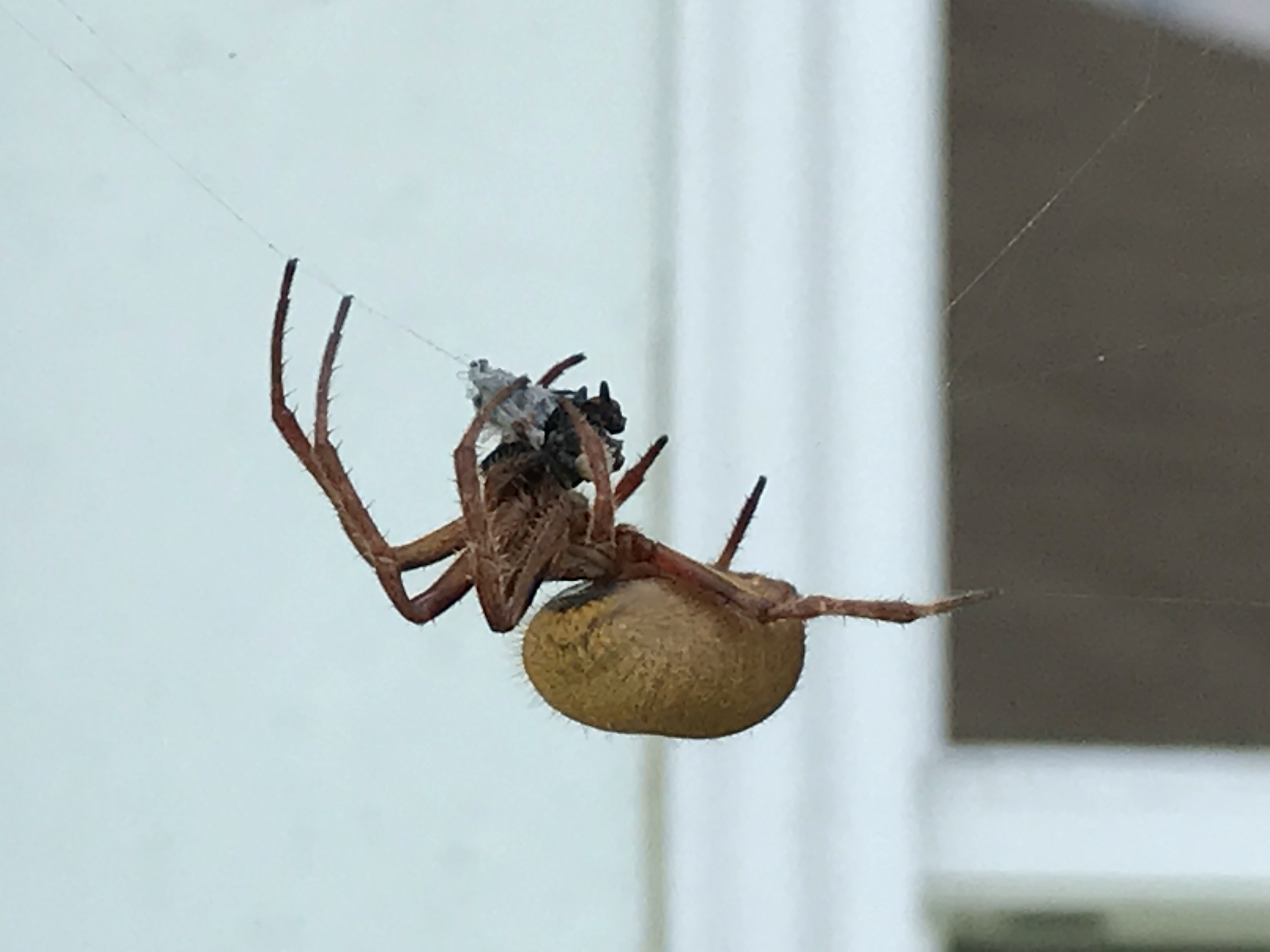 Picture of Eriophora ravilla (Tropical Orb-weaver) - Lateral,Prey