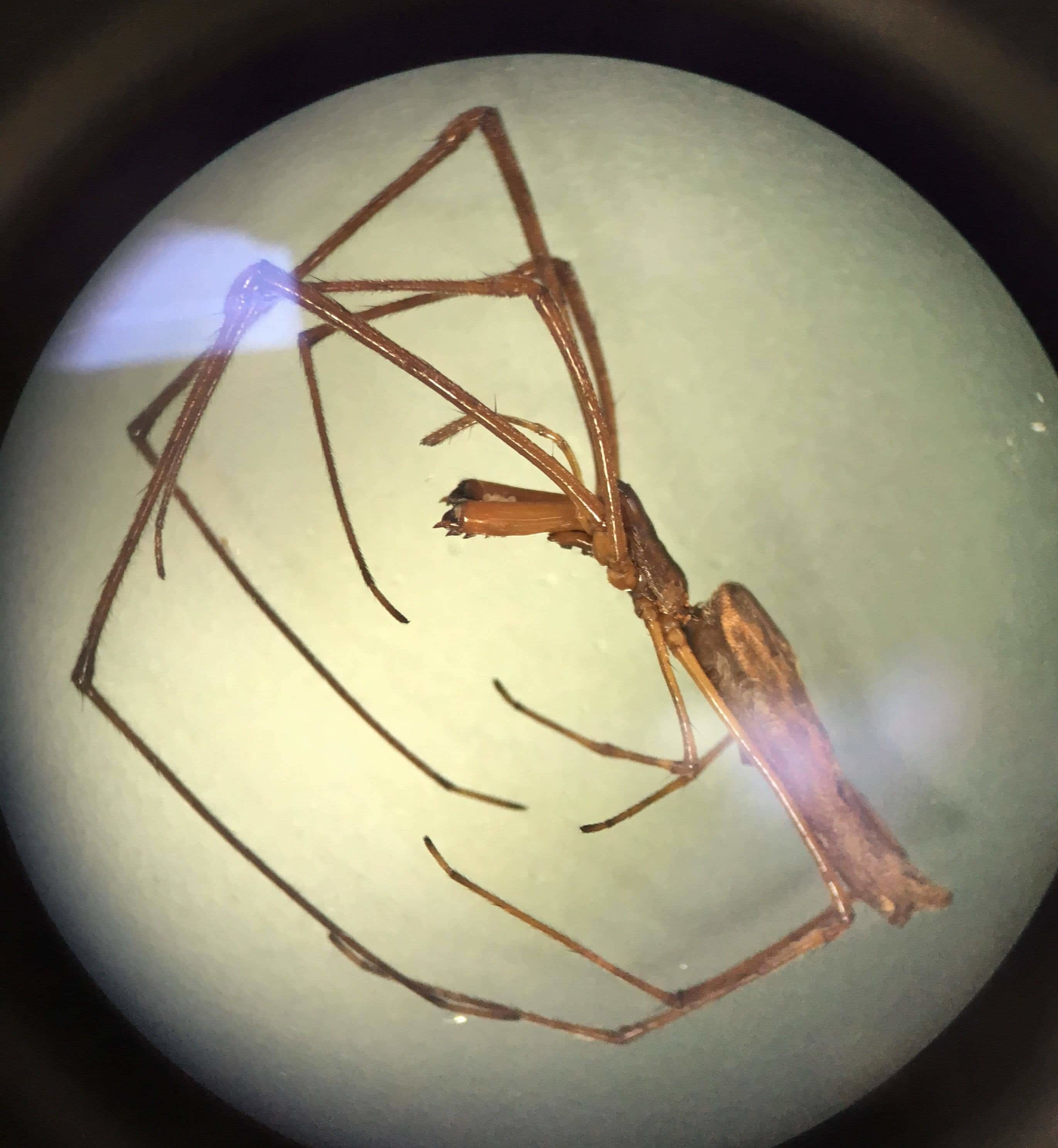 Picture of Tetragnathidae (Long-jawed Orb-weavers) - Lateral