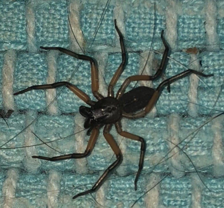 Picture of Platyoides (Scorpion Spiders) - Dorsal