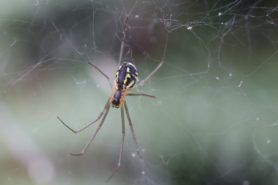 Picture of Linyphiidae (Money Spiders) - Female - Ventral,Webs