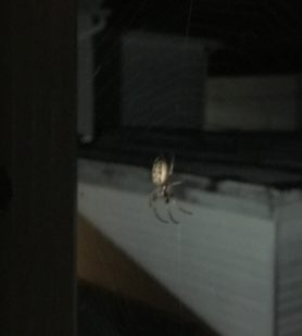 Picture of Larinioides cornutus (Furrow Orb-weaver) - Lateral,Webs