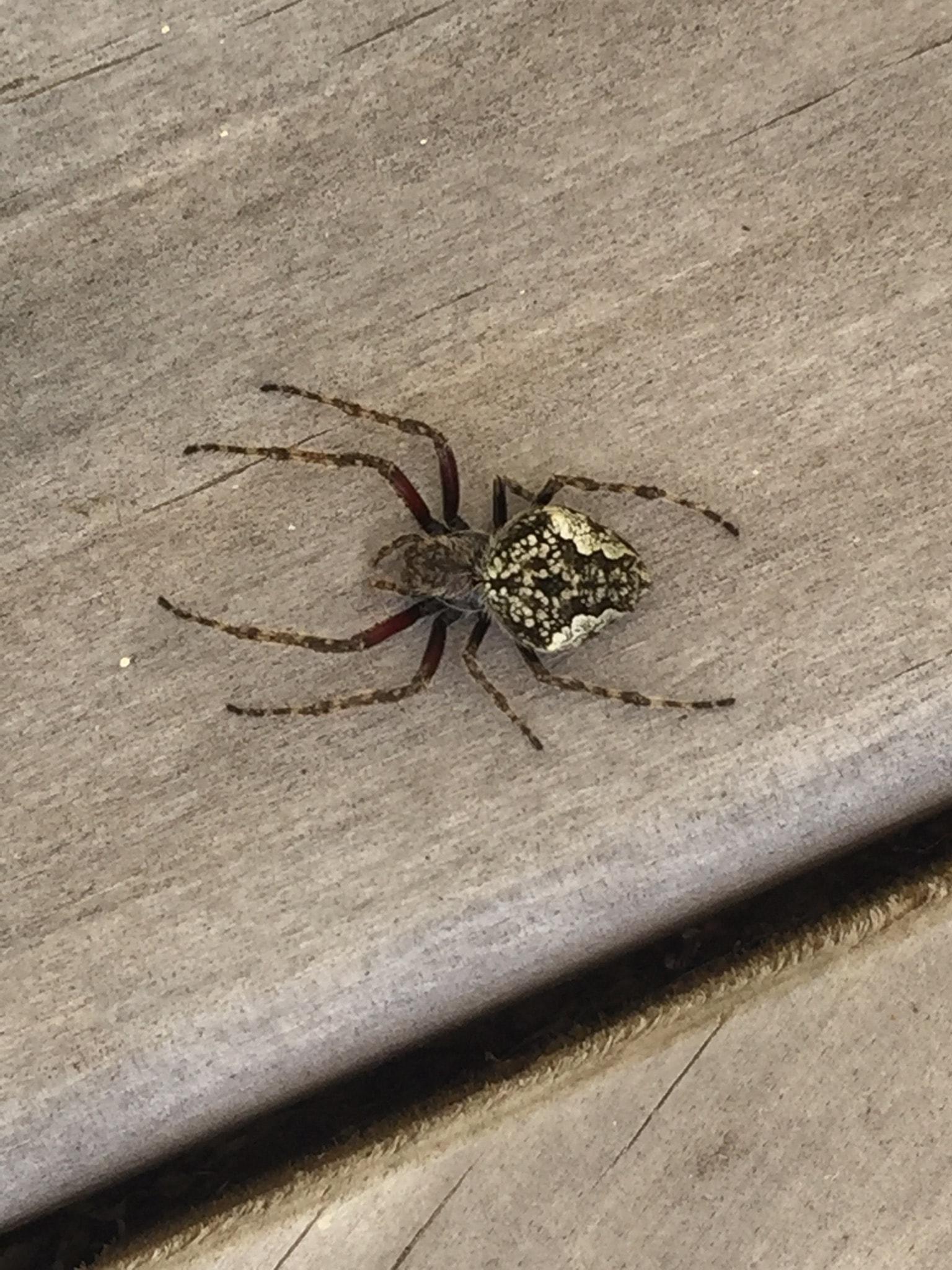 Picture of Eriophora pustulosa (Garden Orb-weaver Spider) - Dorsal