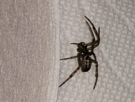 Picture of Steatoda nobilis (Noble False Widow) - Lateral