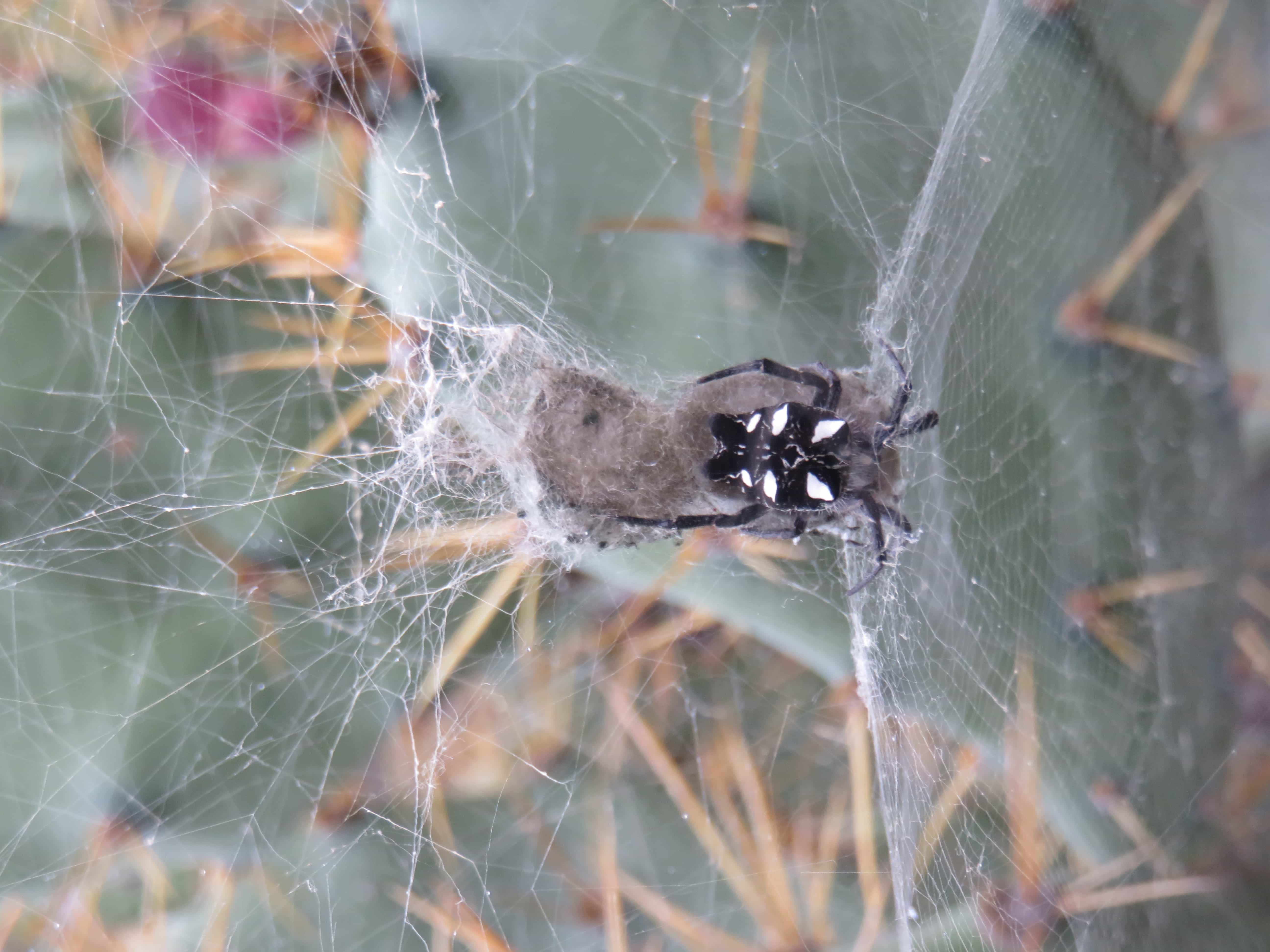 Picture of Cyrtophora citricola (Tropical Tent-web Spider) - Dorsal,Egg sacs,Webs