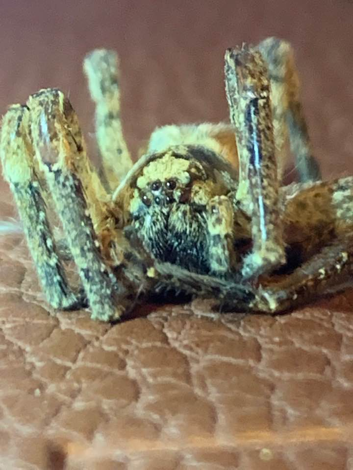 Picture of Zoropsis spinimana - Eyes