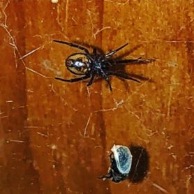 Picture of Steatoda borealis - Ventral,Webs,Prey