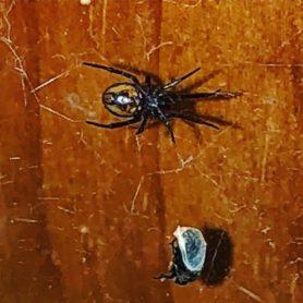 Picture of Steatoda borealis - Ventral,Webs,Prey