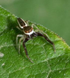 Picture of Hentzia palmarum (Hentz Jumping Spider) - Male - Dorsal,Eyes