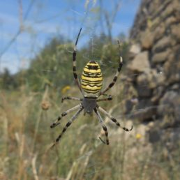 Featured spider picture of Argiope bruennichi (Wasp Spider)