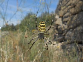Picture of Argiope bruennichi (Wasp Spider) - Female - Dorsal,Webs