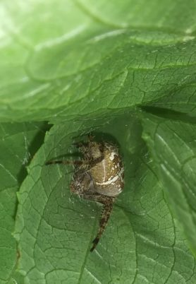 Picture of Araneus diadematus (Cross Orb-weaver) - Dorsal