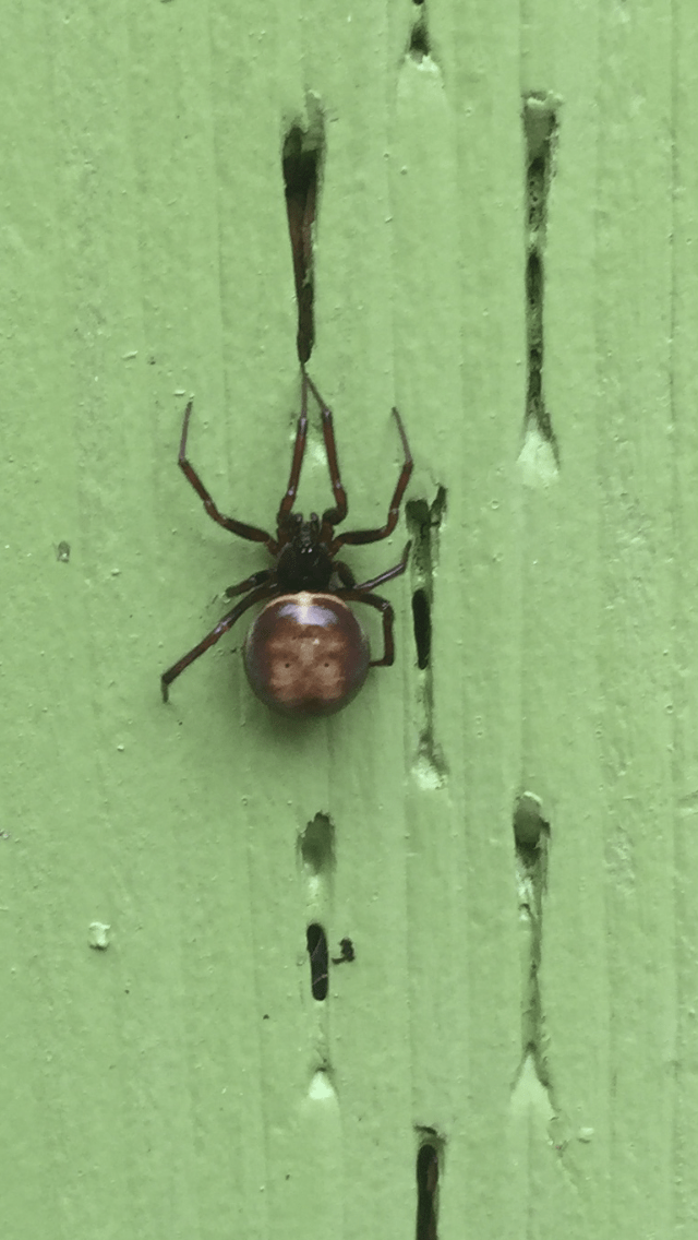 Picture of Steatoda grandis - Dorsal