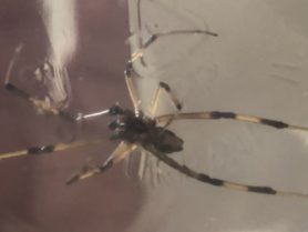 Picture of Latrodectus geometricus (Brown Widow Spider) - Male - Ventral