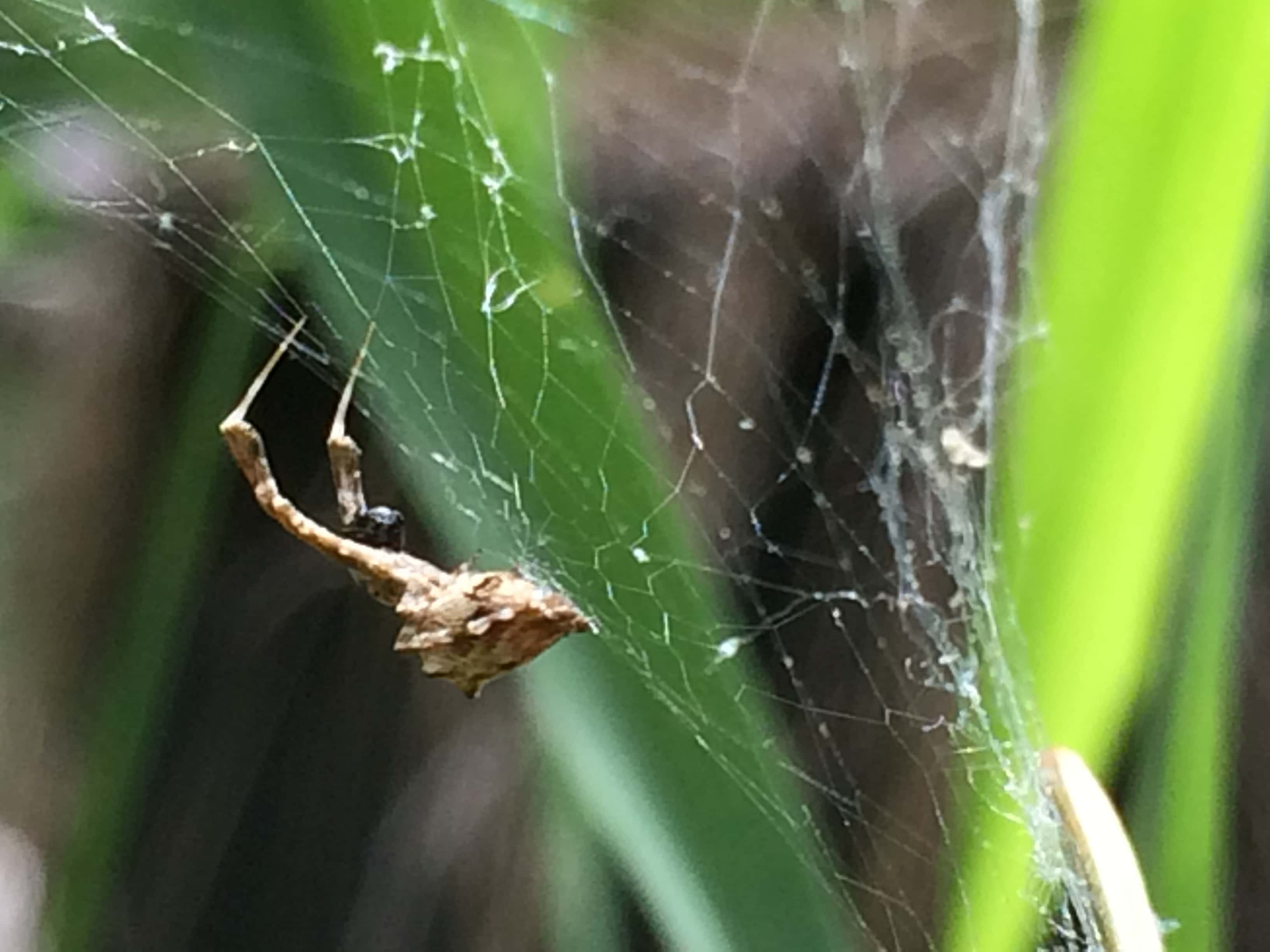 Picture of Uloborus glomosus (Feather-legged Orb-weaver) - Webs