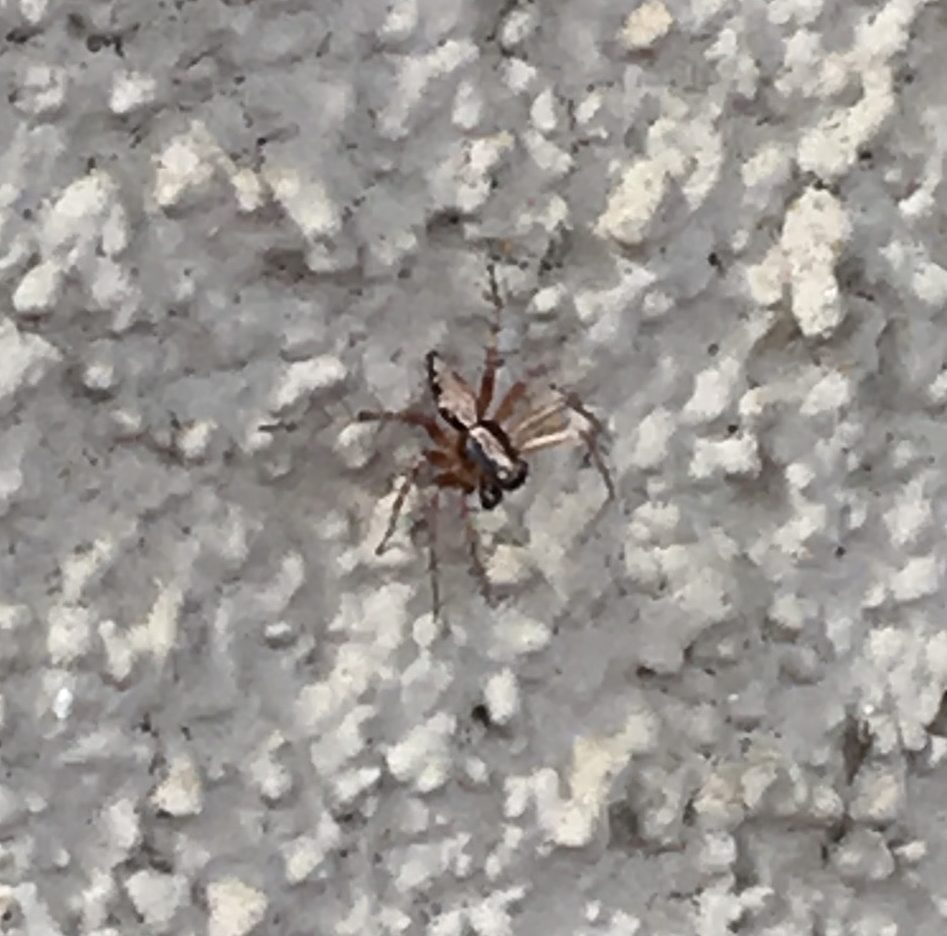 Picture of Oxyopes - Dorsal
