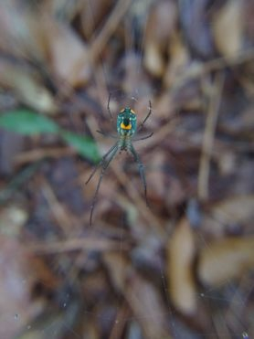 Picture of Leucauge argyrobapta (Mabel Orchard Orb-weaver) - Female - Ventral,Webs