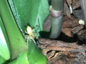 Picture of Cheiracanthiidae (Prowling Spiders) - Dorsal