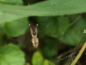 Picture of Uloborus glomosus (Feather-legged Orb-weaver) - Ventral,Webs