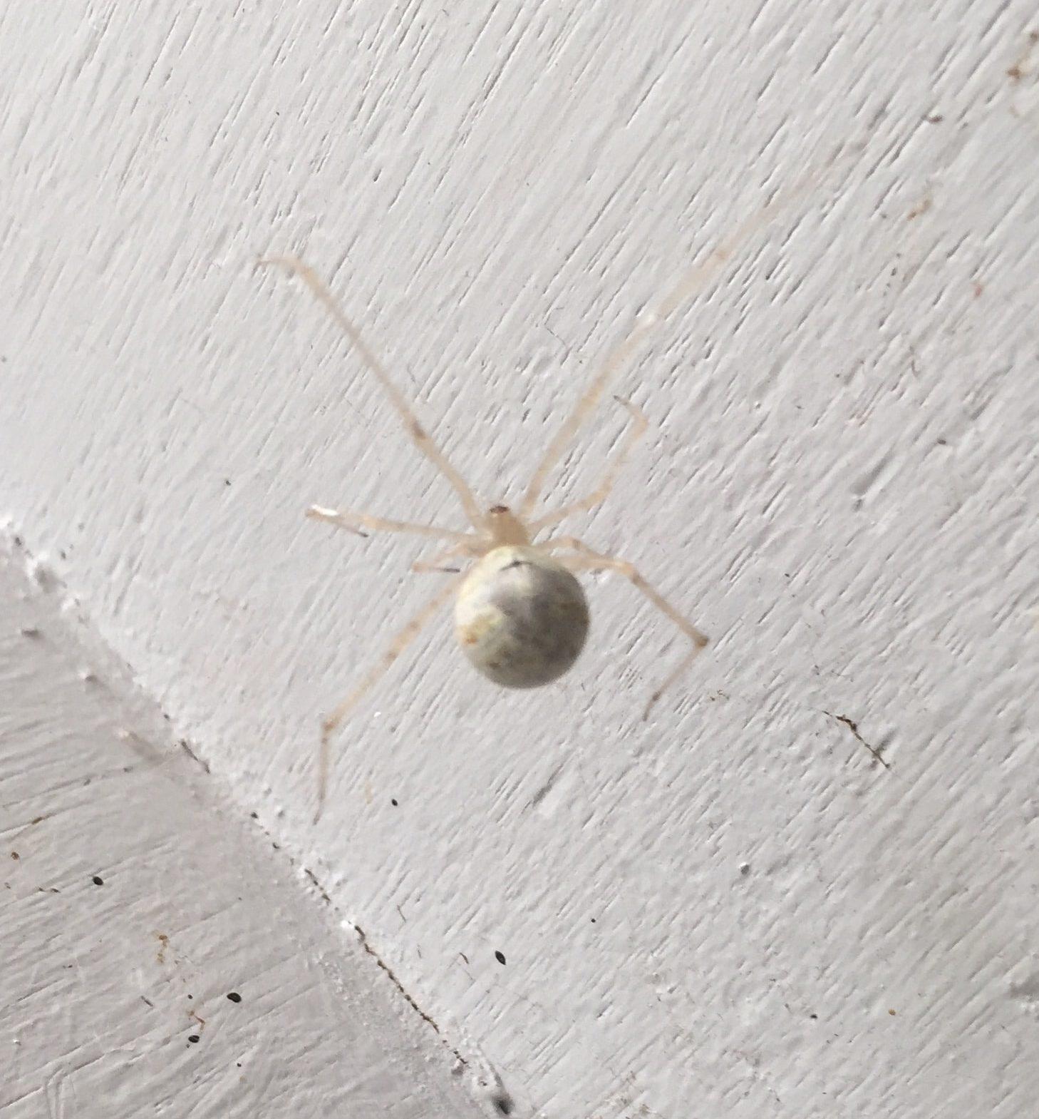 Picture of Cryptachaea gigantipes (White Porch Spider) - Dorsal