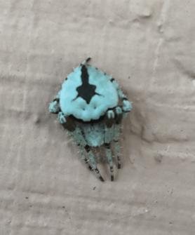 Picture of Eustala anastera (Hump-backed Orb-weaver) - Dorsal