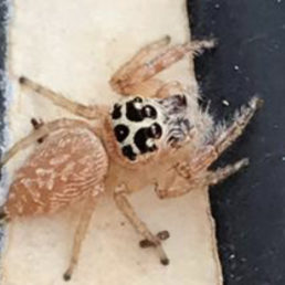 Featured spider picture of Opisthoncus polyphemus
