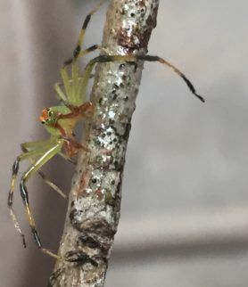 Picture of Lyssomanes viridis (Magnolia Green Jumper) - Male - Eyes