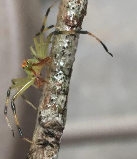 Picture of Lyssomanes viridis (Magnolia Green Jumper) - Male - Eyes