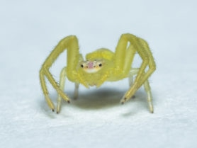 Picture of Thomisidae (Crab Spiders) - Eyes