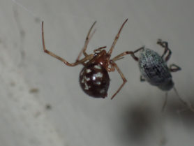 Picture of Steatoda triangulosa (Triangulate Cobweb Spider) - Lateral,Prey