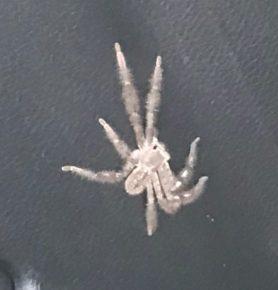 Picture of Isopedella spp. - Dorsal
