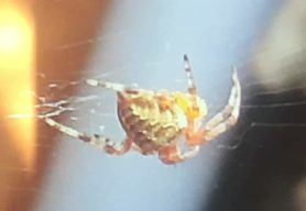 Picture of Araneus diadematus (Cross Orb-weaver) - Lateral