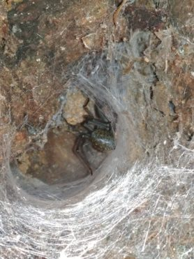 Picture of Eratigena duellica (Giant House Spider) - Dorsal,Webs