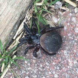 Featured spider picture of Cyclocosmia truncata (Ravine Trapdoor Spider)