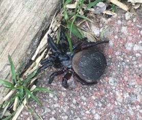 Picture of Cyclocosmia truncata (Ravine Trapdoor Spider) - Dorsal