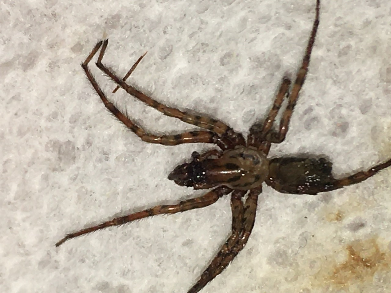 Picture of Coras (Funnel Web Spiders) - Male - Dorsal