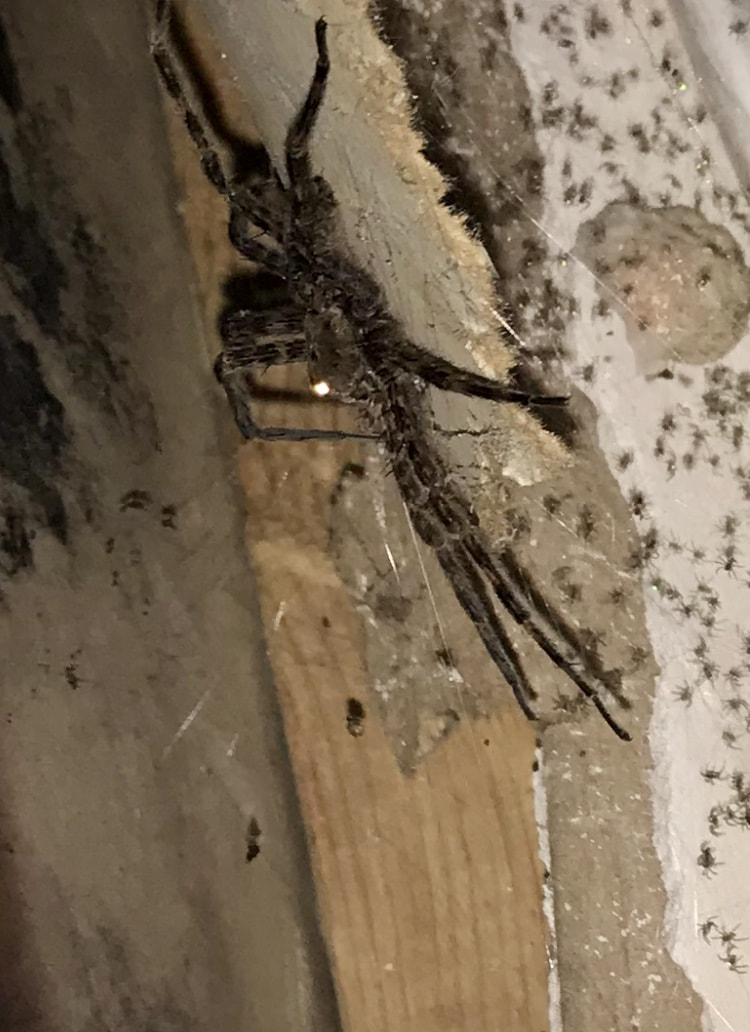 Picture of Dolomedes (Fishing Spiders) - Lateral,Spiderlings