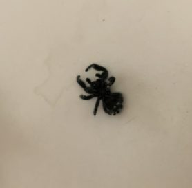 Picture of Salticidae (Jumping Spiders) - Ventral