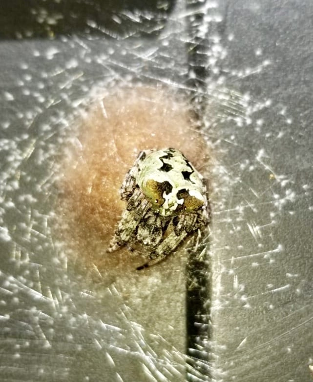 Picture of Araneus bicentenarius (Giant Lichen Orb-weaver) - Female - Dorsal,Egg sacs