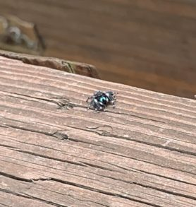 Picture of Phidippus spp.