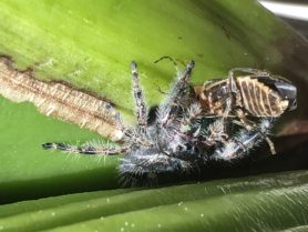Picture of Phidippus audax (Bold Jumper) - Lateral,Prey