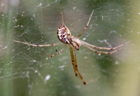 Picture of Linyphia triangularis (European Sheetweb Spider) - Lateral