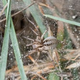 Featured spider picture of Agelena labyrinthica (Labyrinth Spider)
